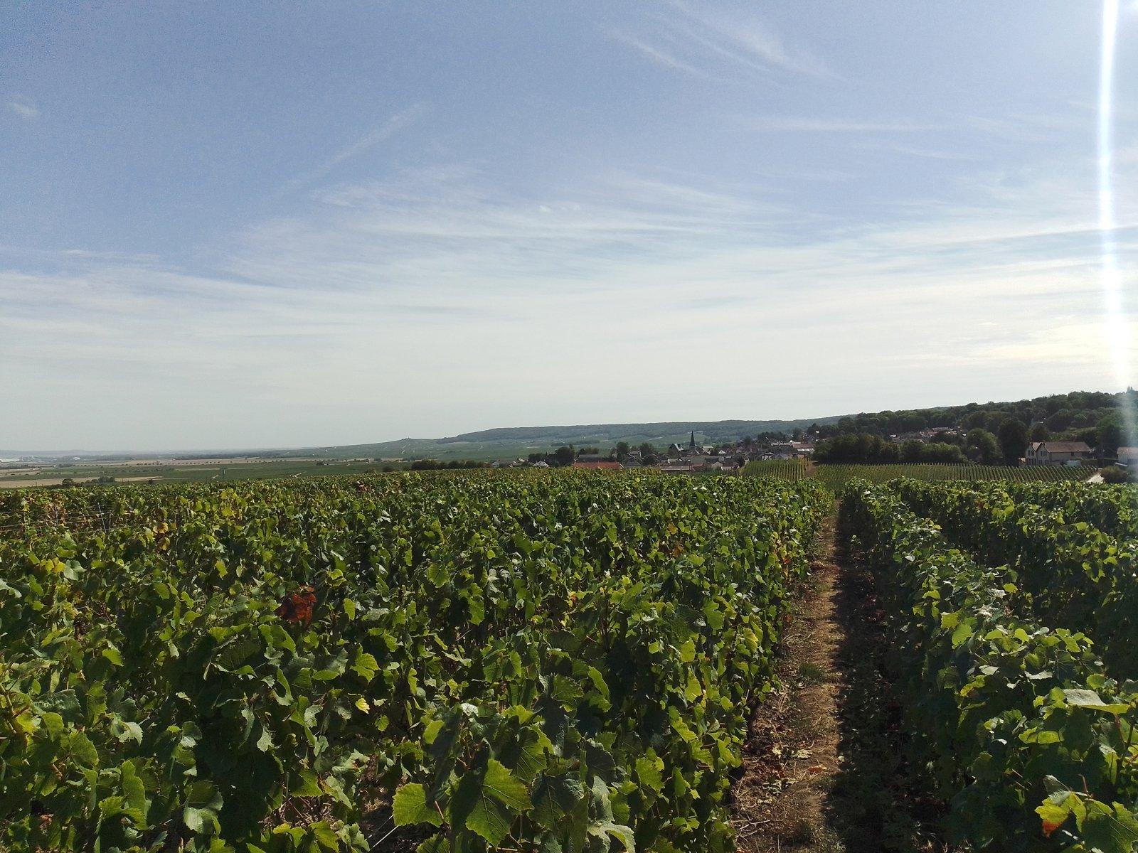 Paysage de nos vignes à Rilly-la-Montagne